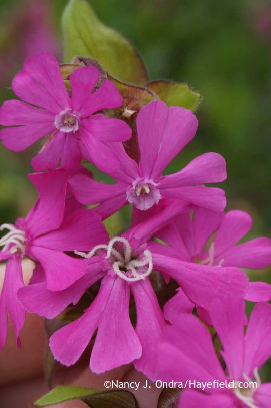 The most straightforward way to identify male and female plants of red campion (Silene dioica) is to take a close look at the flowers. The females are below, with two male blooms above. [Nancy J. Ondra at Hayefield]