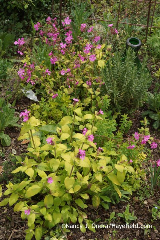 Female plants of red campion (Silene dioica) make more of a foliage impact, which is a bonus on strains with showy leaves, like this 'Ray's Golden Campion'. (Female plant is in the foreground; male plant is behind.) Still, you need both kinds to get seeds! [Nancy J. Ondra at Hayefield]