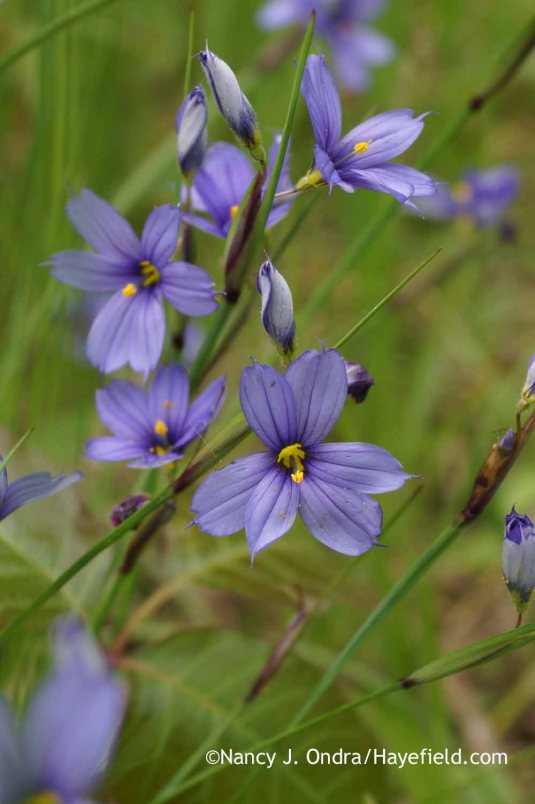 Narrowleaf blue-eyed grass (Sisyrinchium angustifolium); Nancy J. Ondra at Hayefield