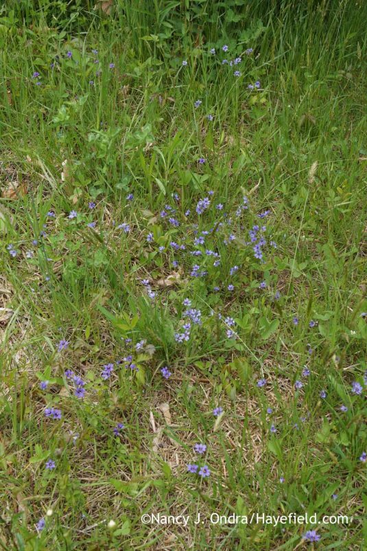 Narrowleaf blue-eyed grass (Sisyrinchium angustifolium) in the meadow [Nancy J. Ondra at Hayefield]