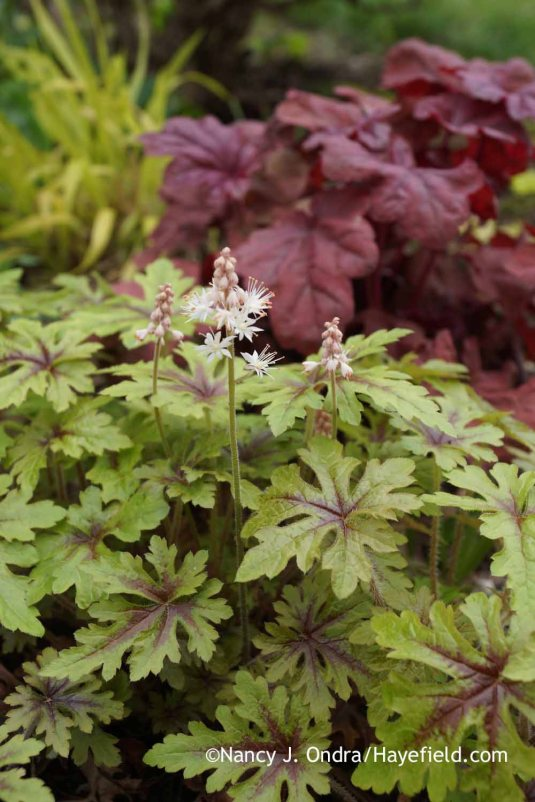 'Pacific Crest' foamflower (Tiarella) [Nancy J. Ondra at Hayefield]