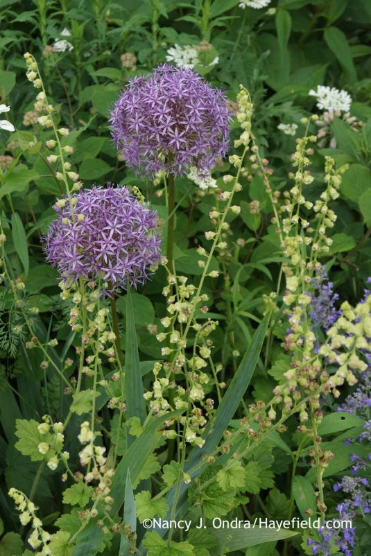 'Ambassador' ornamental onion (Allium) with fringecups (Tellima grandiflora); Nancy J. Ondra at Hayefield