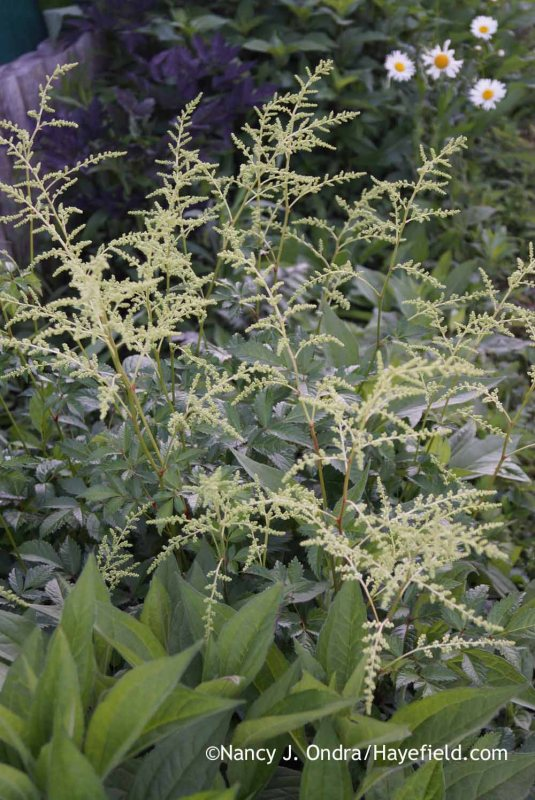 'Deutschland' astilbe (Astilbe) in bud; Nancy J. Ondra at Hayefield