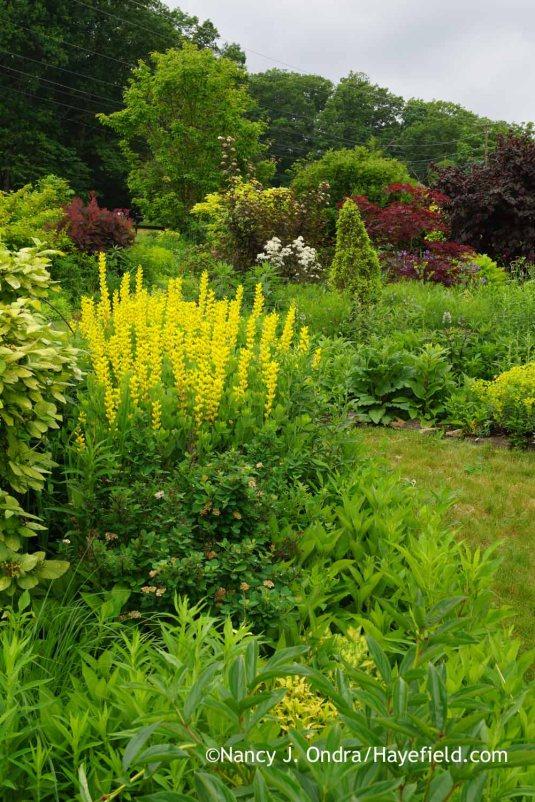 'Screamin' Yellow' yellow false indigo (Baptisia sphaerocarpa); Nancy J. Ondra at Hayefield