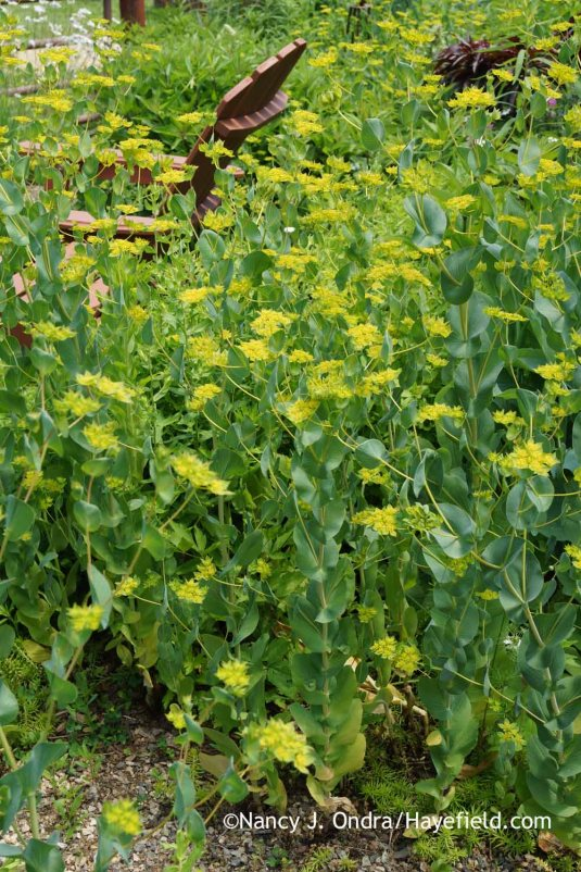 Hare's ear (Bupleurum rotundifolium): Also charming for chartreuse, and beautiful blue-green foliage too [Nancy J. Ondra at Hayefield]