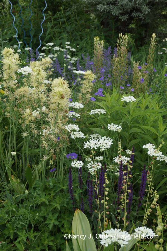 Bright white lace flower (Orlaya grandiflora) with creamy white 'Semiplena' Leichtlin's camas (Camassia leichtlinii), dainty fringecups (Tellima grandiflora), and the short, deep blue spikes of 'Marcus' perennial salvia (Salvia) [Nancy J. Ondra at Hayefield]