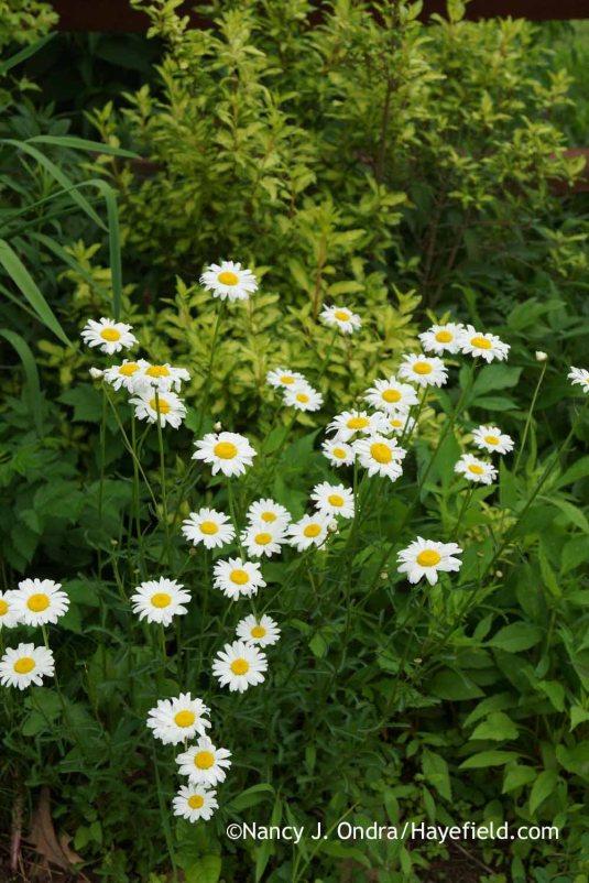 Oxeye daisy (Leucanthemum vulgare [Chrysanthemum leucanthemum]) against 'Fiesta' variegated forsythia (Forsythia) [Nancy J. Ondra at Hayefield]
