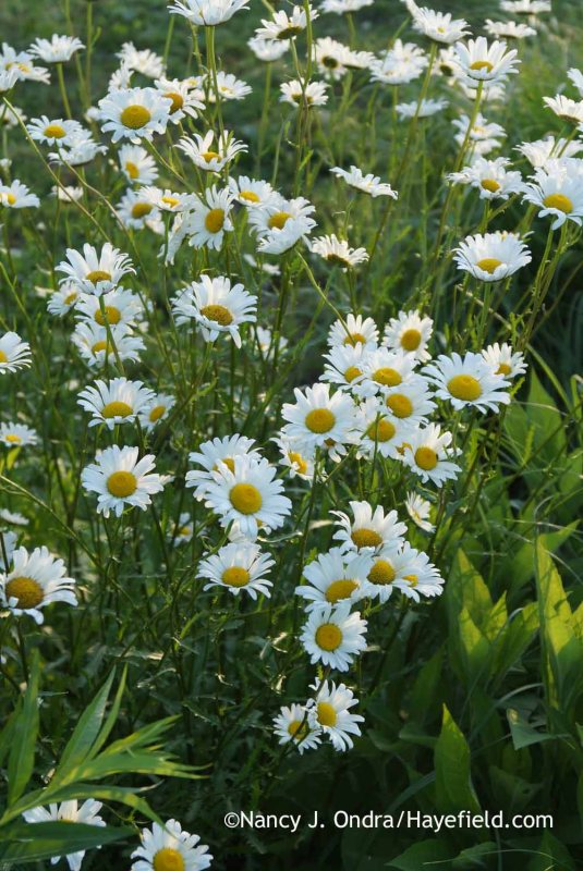I don't know why I've been pulling the oxeye daisies (Leucanthemum vulgare [Chrysanthemum leucanthemum]) out of my garden for years. They last for only a few weeks, but they're very pretty and come up in places where other things don't want to grow. [Nancy J. Ondra at Hayefield]