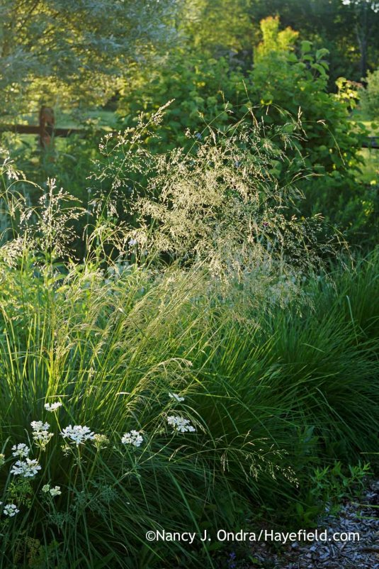 Tufted hair grass (Deschampsia cespitosa) [Nancy J. Ondra at Hayefield]