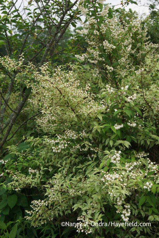 Variegated rough deutzia (Deutzia scabra 'Variegata') [Nancy J. Ondra at Hayefield]