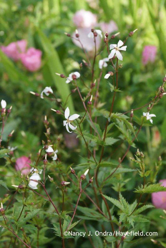 American ipecac (Gillenia stipulata [Porteranthus stipulatus]) [Nancy J. Ondra at Hayefield]