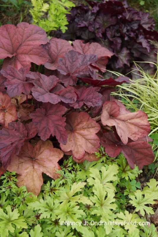 'Lava Lamp' heuchera (Heuchera) with 'Pacific Crest' foamflower (Tiarella) [Nancy J. Ondra at Hayefield]