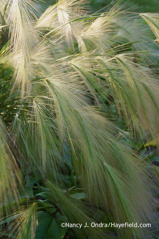 Foxtail barley (Hordeum jubatum) [Nancy J. Ondra at Hayefield]