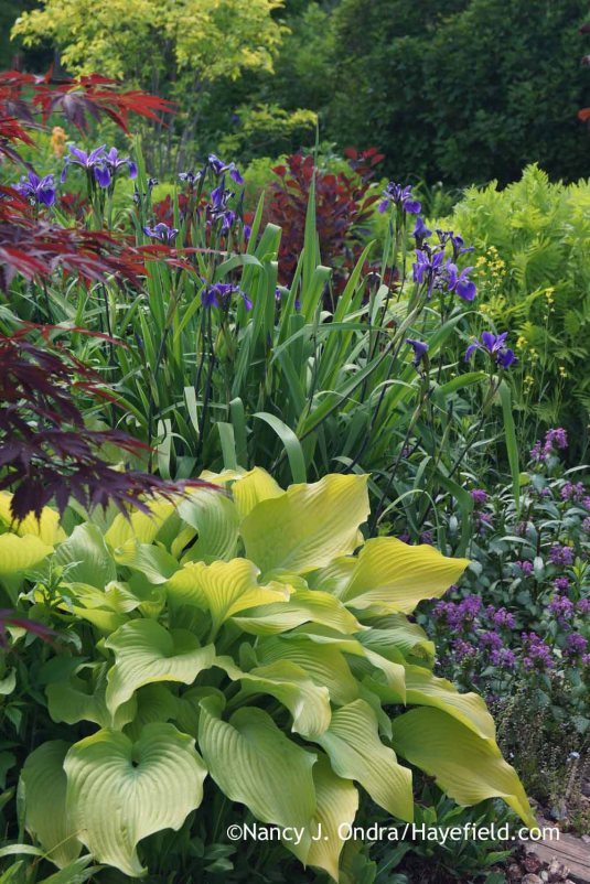 'Sun Power' hosta with 'Gerald Darby' iris (Iris x robusta) and 'Purple Dragon' spotted deadnettle (Lamium maculatum) [Nancy J. Ondra at Hayefield]