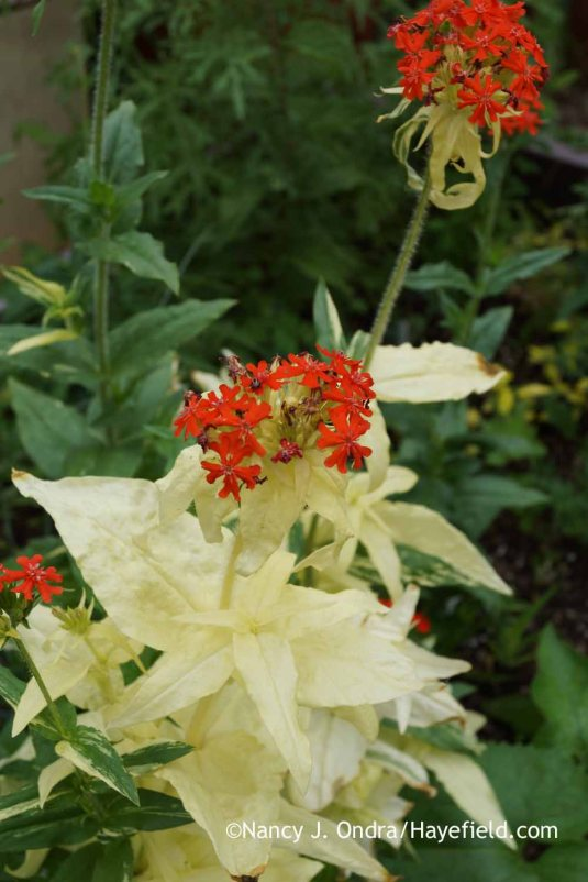 'The Flasher' variegated Maltese cross (Lychnis chalcedonica): some stems are solid green, some are green-and-white, and some--like this one--are solid white. [Nancy J. Ondra at Hayefield]