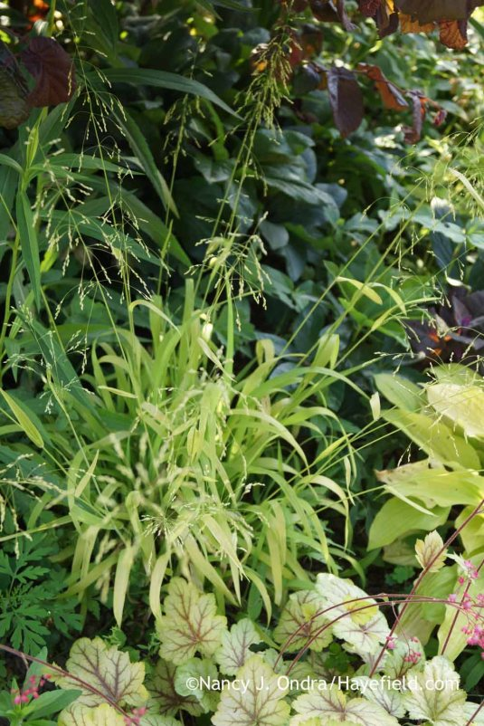 Bowles' golden grass (Milium effusum 'Aureum') [Nancy J. Ondra at Hayefield]