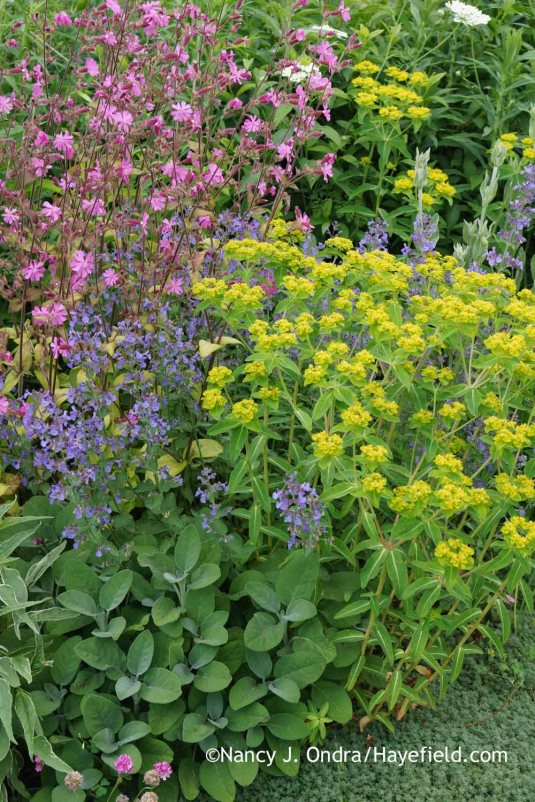 Euphorbia palustris 'Zauberflote' with 'Berggarten' sage (Salvia officinalis), 'Joanna Reed' catmint (Nepeta), and 'Ray's Golden Campion' red campion (Silene dioica) [Nancy J. Ondra at Hayefield]