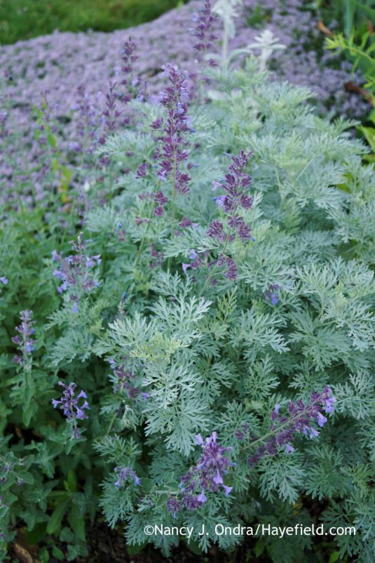Junior Walker catmint (Nepeta x faassenii 'Novanepjun') with 'Powis Castle' artemisia (Artemisia) [Nancy J. Ondra at Hayefield]