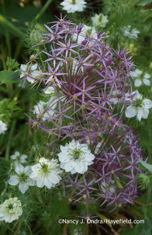 Star of Persia (Allium christophii) with 'Cramers' Plum' love-in-a-mist (Nigella damascena) [Nancy J. Ondra at Hayefield]