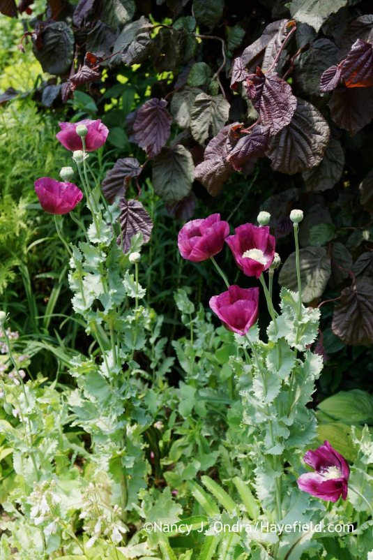 'Lauren's Grape' poppy (Papaver) against 'Red Majestic' contorted hazel (Corylus avellana) [Nancy J. Ondra at Hayefield]