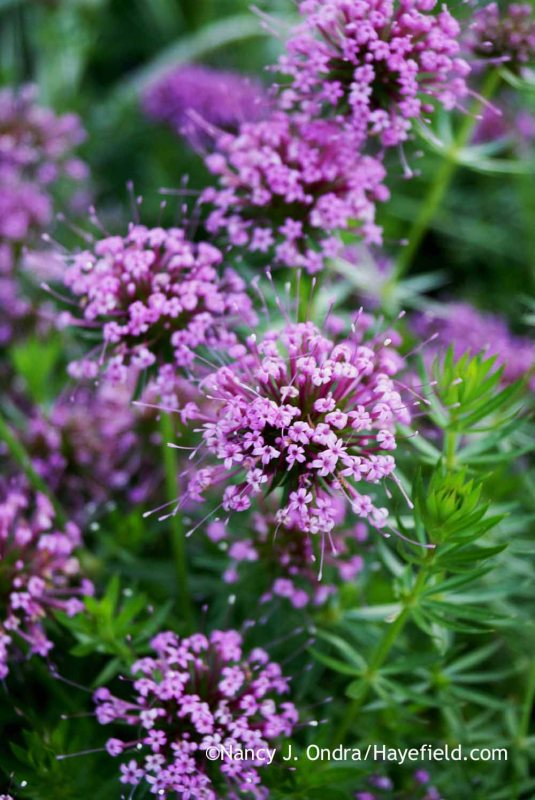 Caucasian crosswort (Phuopsis stylosa) [Nancy J. Ondra at Hayefield]