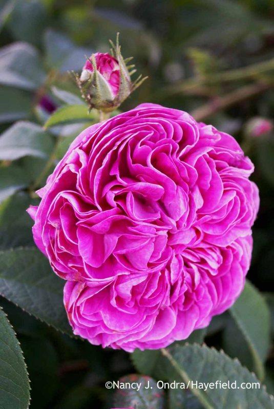 'Belle de Crecy' Gallica rose (Rosa) [Nancy J. Ondra at Hayefield]