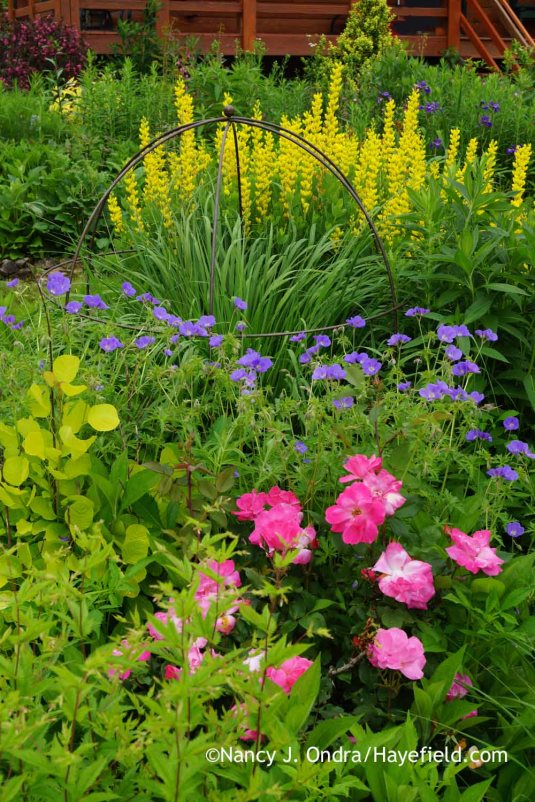 Pink Knock Out rose (Rosa 'Radcon'), Golden Spirit smoke bush (Cotinus coggygria 'Ancot'), 'Brookside' hardy geranium (Geranium), 'Skyracer' purple moor grass (Molinia caerulea), and 'Screamin' Yellow' yellow false indigo (Baptisia sphaerocarpa) [Nancy J. Ondra at Hayefield]