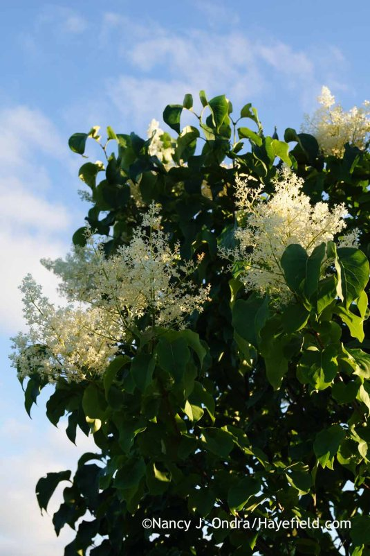 Japanese tree lilac (Syringa reticulata) [Nancy J. Ondra at Hayefield]