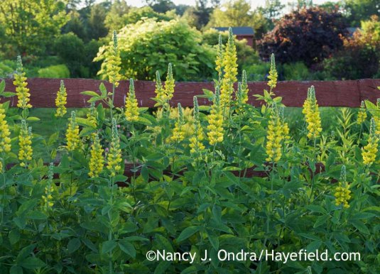 Carolina lupine (Thermopsis villosa [T. caroliniana]) [Nancy J. Ondra at Hayefield]