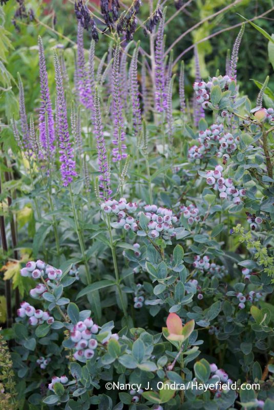 'Eveline' speedwell (Veronica) with Peach Sorbet blueberry (Vaccinium corymbosum 'ZF06-043') [Nancy J. Ondra at Hayefield]