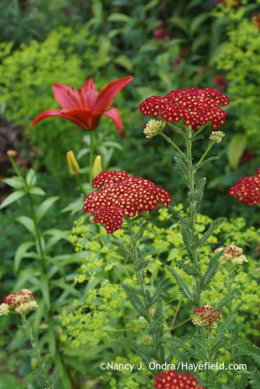 'Strawberry Seduction' yarrow (Achillea) with 'Monte Negro' Asiatic lily (Lilium) and golden foam spurge (Euphorbia stricta) [Nancy J. Ondra at Hayefield]