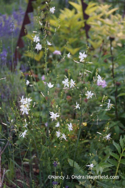 Years ago, when I was more focused on bright colors, I wouldn't have given branched St Bernard's lily (Anthericum ramosum) a second look. But when I received some seeds as a gift (thanks, Rox!), I gave them a try, and I'm very glad I did. The dainty blooms appear in midsummer and make a nice alternative to gaura, which hates my winter-wet soil. [Nancy J. Ondra at Hayefield]