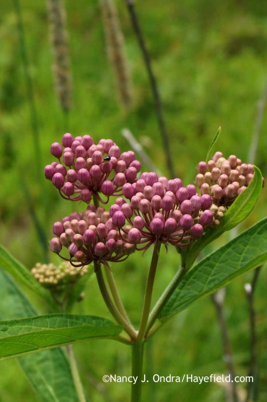 Almost-open swamp milkweed (Asclepias incarnata) [Nancy J. Ondra at Hayefield]
