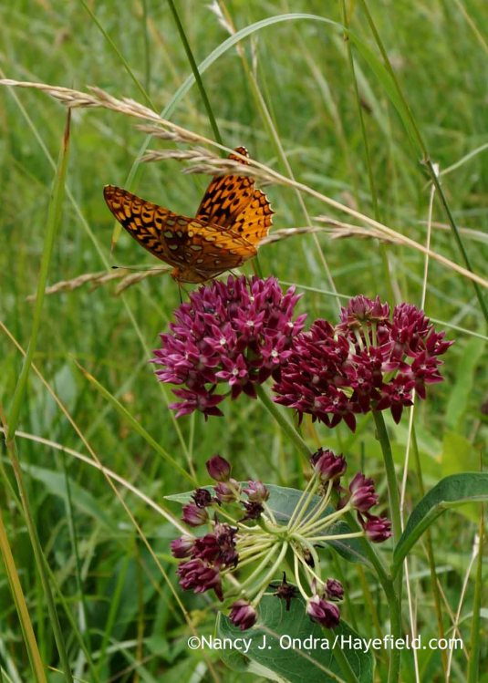 Purple milkweed (Asclepias purpurascens) with great spangled fritillary (Speyeria cybele) [Nancy J. Ondra at Hayefield]