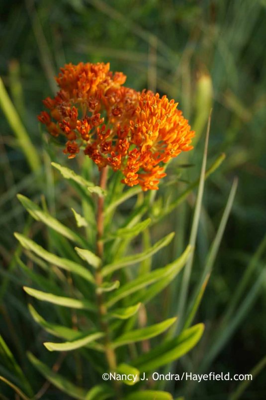 Orange milkweed (Asclepias tuberosa) [Nancy J. Ondra at Hayefield]