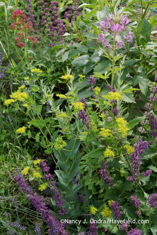 Hare's ear (Bupleurum rotundifolium) with 'Purple Rain' salvia (Salvia verticillata) and 'Purple Queen' spider flower (Cleome) [Nancy J. Ondra at Hayefield]