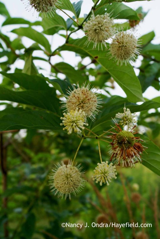 Buttonbush (Cephalanthus occidentalis) [Nancy J. Ondra at Hayefield]