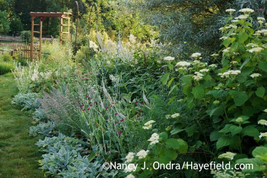 Hydrangea, 'Big Ears' lamb's ears (Stachys byzantina), rose campion (Lychnis coronaria), catmint (Nepeta), and giant fleeceflower (Persicaria polymorpha) in the side garden [Nancy J. Ondra at Hayefield]