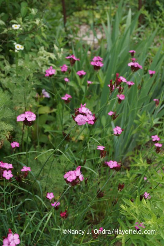 Unlike many dianthus, clusterhead pink (Dianthus carthusianorum) flowers through much of the summer. [Nancy J. Ondra at Hayefield]
