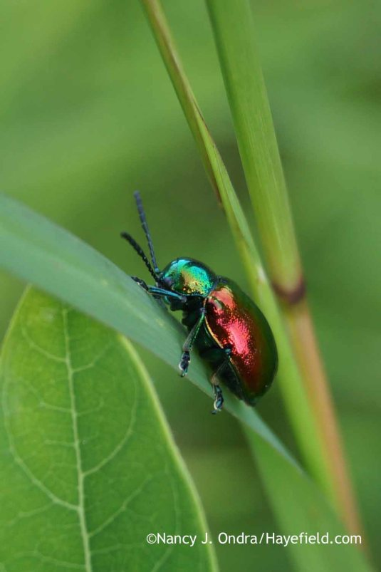 With all of the dogbane (Apocynum cannabinum) in the meadows here, it's hardly a surprise that there are dogbane beetles (Chrysochus auratus) too, but I seldom see them and rarely have had the chance to photograph one. [Nancy J. Ondra at Hayefield]