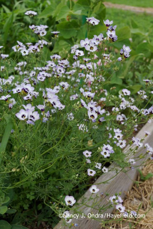 Another new annual for me this year: bird's eye gilia (Gilia tricolor). I had just a few seeds, so I sprinkled them in the vegetable garden. They were very happy there, and now I have lots of seeds! [Nancy J. Ondra at Hayefield]