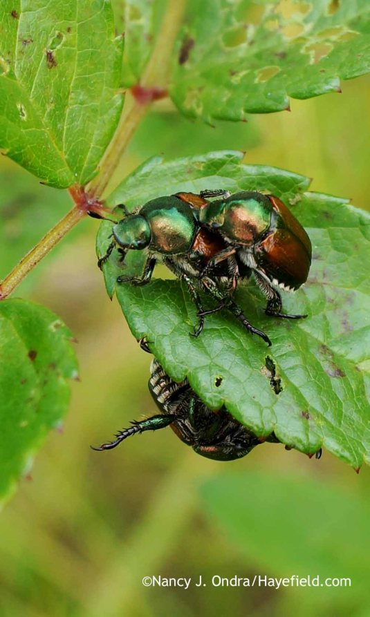 It's been 7 or 8 years since the last time the Japanese beetles were bad here; I've seen a few here and there since then but they caused little damage, and I hoped our luck would hold for a while longer. This year, however, their population exploded in my garden and meadow, and they are everywhere. That's bad news for the grapes, roses, echinaceas, sanguisorbas, persicarias, and other Japanese beetle favorites. [Nancy J. Ondra at Hayefield]