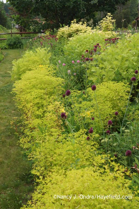 Too much chartreuse, do you think? The golden foam spurge (Euphorbia stricta) and seedlings of 'Isla Gold' tansy (Tanacetum vulgare) are particularly abundant this year. There should have been a lot more of the drumstick alliums (Allium sphaerocephalon), but...er...I accidentally pulled out many of them earlier this spring, thinking that they were wild garlic. Sigh. [Nancy J. Ondra at Hayefield]