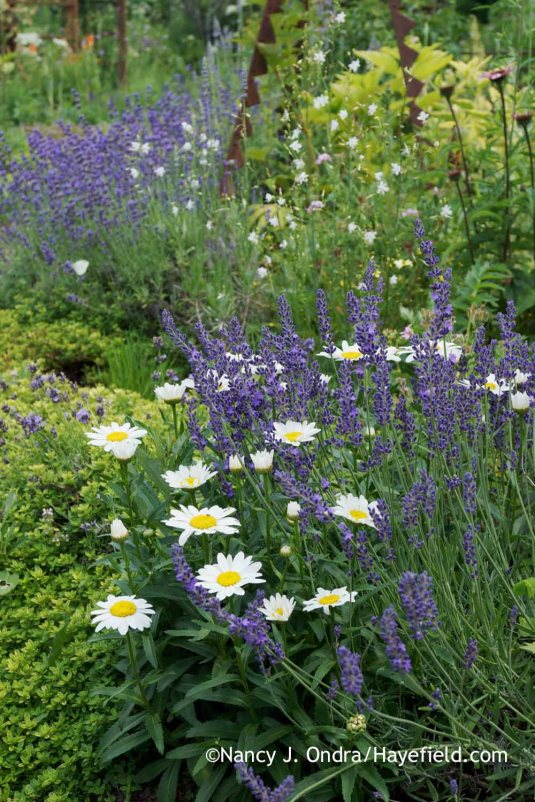 'Munstead' English lavender (Lavandula angustifolia) with 'Snowcap' Shasta daisy (Leucanthemum x superbum), 'Clear Yellow' thyme (Thymus) and branched St Bernard's lily (Anthericum ramosum) [Nancy J. Ondra at Hayefield]