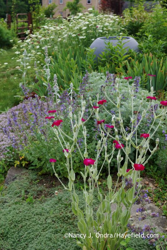 A summer classic: rose campion (Lychnis coronaria) [Nancy J. Ondra at Hayefield]