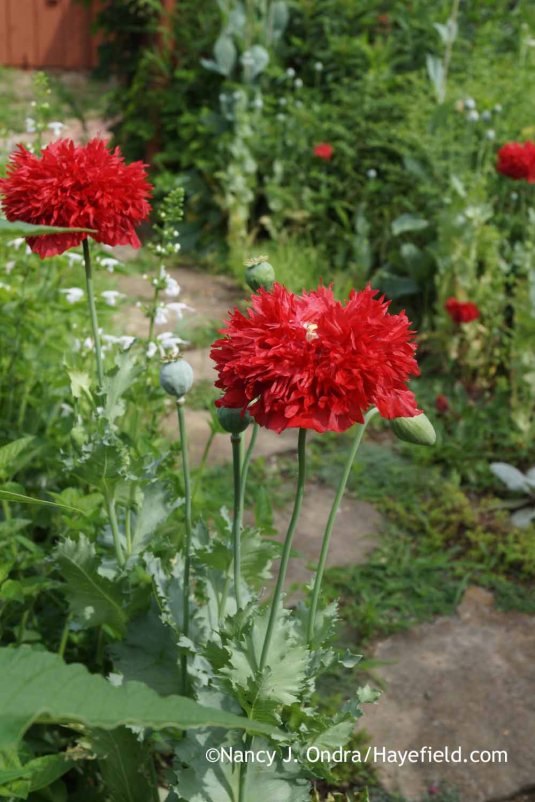 "The first round of flowers from poppy plants I grew as ""cherry red doubles"" were a rich pink. When those plants were done, the rest bloomed in this brilliant red. [Nancy J. Ondra at Hayefield]"