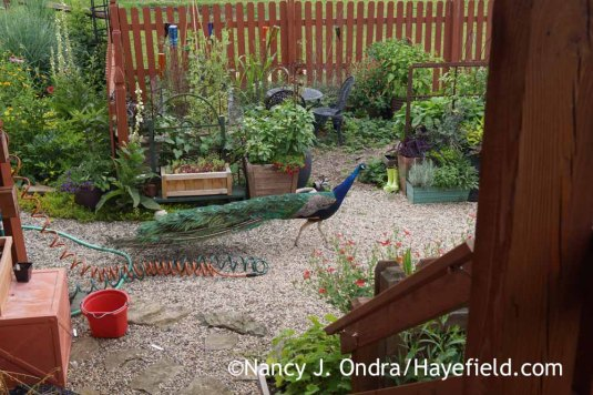 This garden visitor was certainly a surprise! I've heard him wandering the neighborhood for years, and he occasionally chases me and the boys when we're out for a walk, but I never realized that he came down this far. [Nancy J. Ondra at Hayefield]
