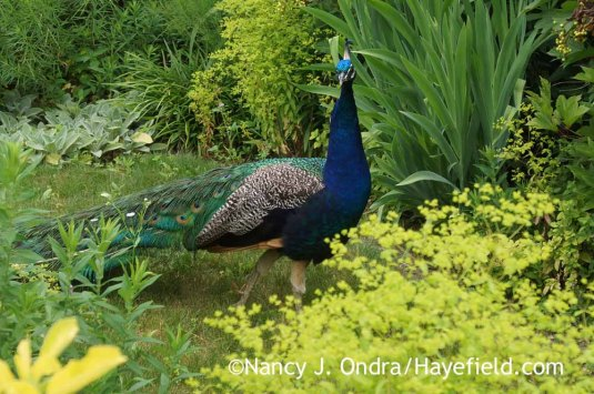 Mr. Peacock took a stroll around the garden--staying neatly on the paths and looking every bit as bored as most people do when they come to see the garden--and then sauntered back up the road as silently as he came. [Nancy J. Ondra at Hayefield]