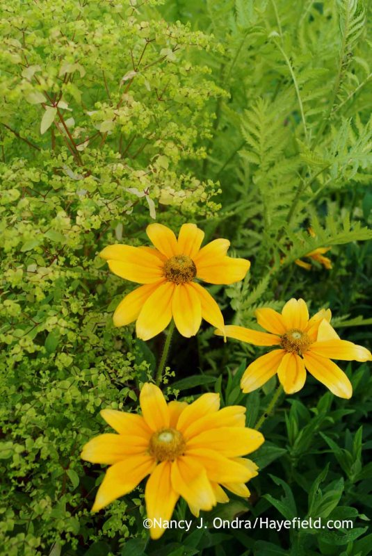 'Prairie Sun' black-eyed Susans (Rudbeckia hirta) with golden foam spurge (Euphorbia stricta) and a seedling of 'Isla Gold' tansy (Tanacetum vulgare) [Nancy J. Ondra at Hayefield]