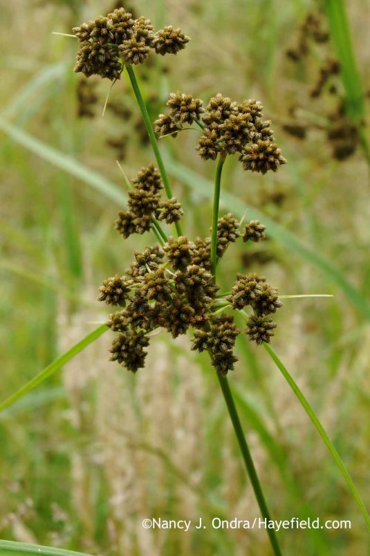 Green bulrush (Scirpus atrovirens) [Nancy J. Ondra at Hayefield]
